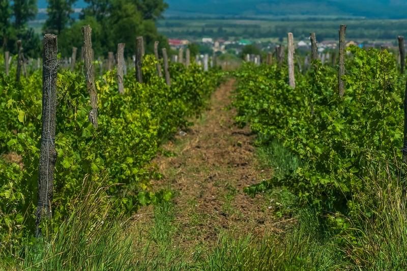 Виноградники под Анапой