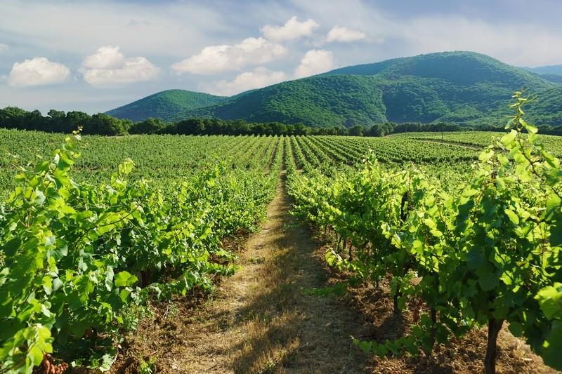 Дивноморское виноградники
